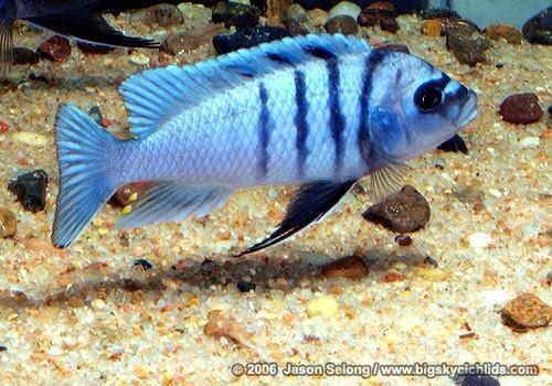 127 Best Beautiful Cichlids Images On Pinterest African
