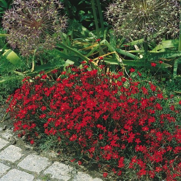 Heidenelke rot, 9 cm Topf  Heidenelken sind besonders anspruchslose und pflegeleichte Stauden, die mit ihrem lockeren, rasenartigen Wuchs und leuchtenden Blüten überzeugen.