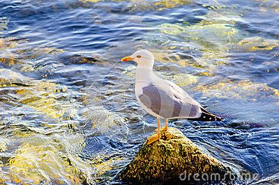 Download Seagull Royalty Free Stock Image for free or as low as 0.67 lei. New users enjoy 60% OFF. 23,039,803 high-resolution stock photos and vector illustrations. Image: 40044546