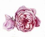 Rosa 'Mme E. Calvat'