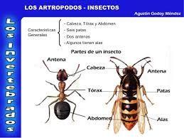 y por ultimo los insectos un tipo de artropodos