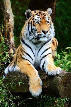 Tiger Portrait by Sven Roxin :) #BigCatFamily
