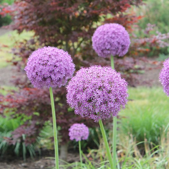 Know when to plant flowering bulbs for the summer season with these helpful tips.