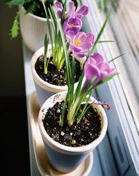 Крокусы выращивание дома