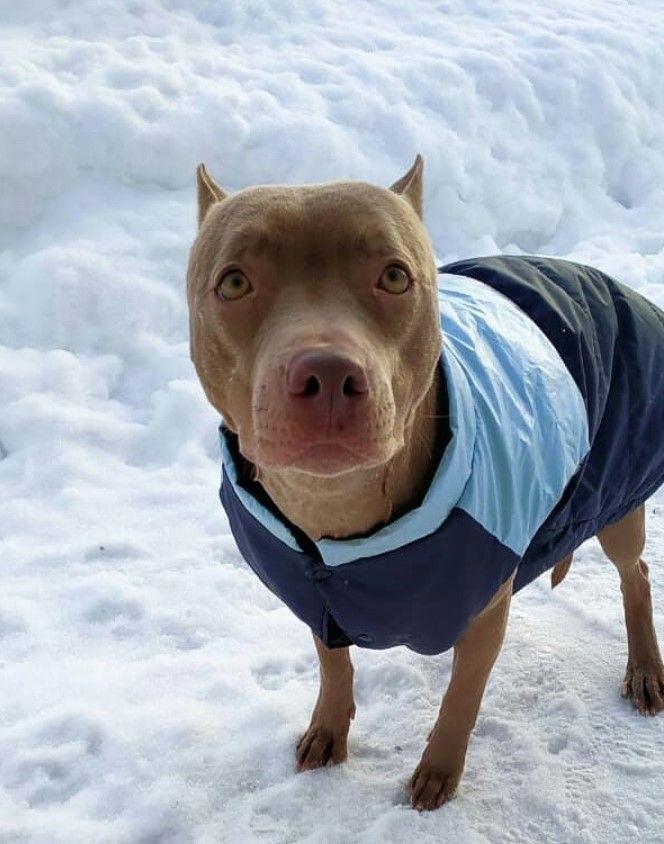 23 Red Nose Pitbull Dog Names Pitbull Dog Names Red Nose