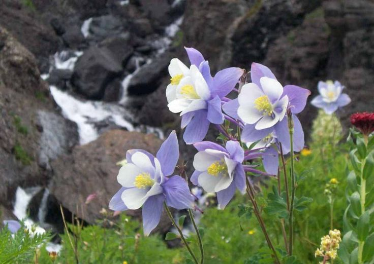 Rocky Mountain Columbine Blue Flower Images HD Wallpapers Images