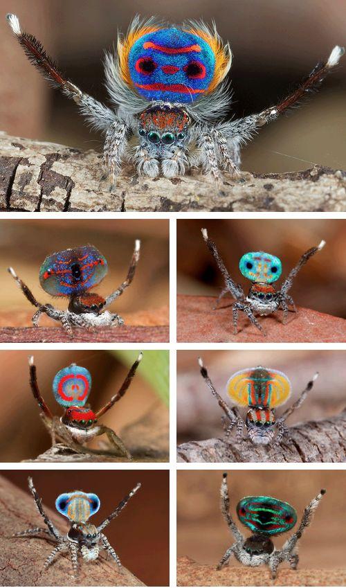 Australian Peacock Spider