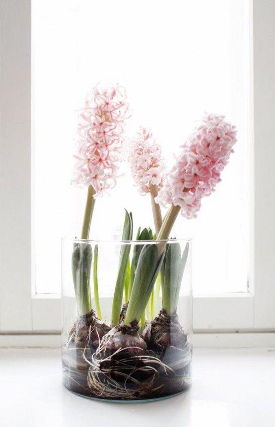 Jacinthes roses en pot transparent. Des bulbes à floraison printanière qui peuvent être forcés pour fleurir à l'intérieur dès l'hiver.