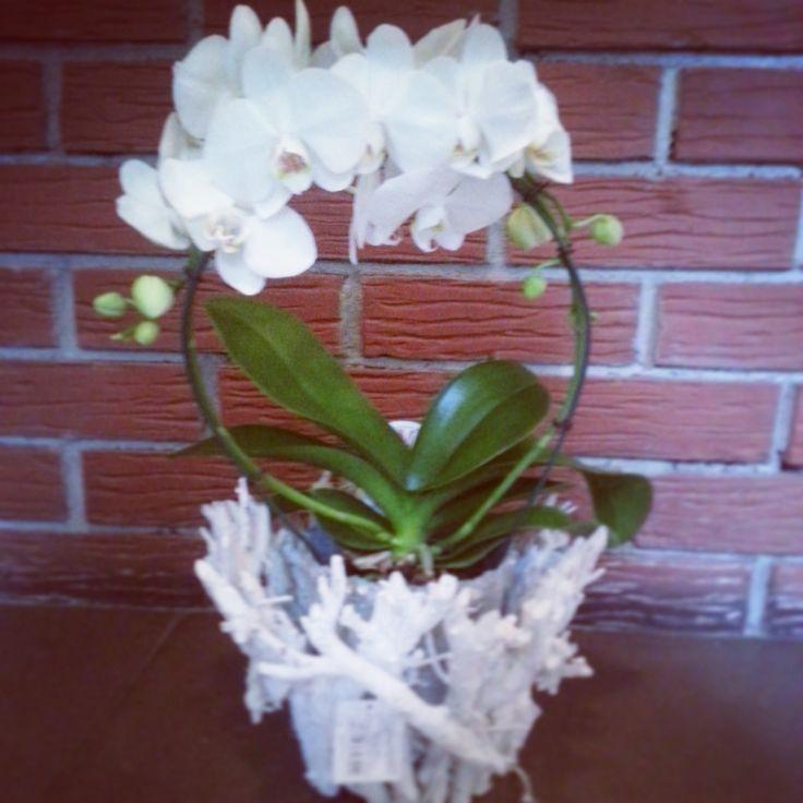 biały, okrągły storczyk (white orchid),   kwiaty doniczkowe