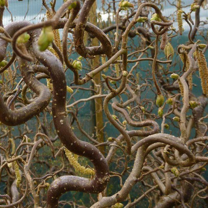 Vrihassel, Corylus avellana 'Contorta'