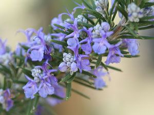 Blooming Herbs: Rosemary:     (Rosmarinus officinalis)  Zones 8-10    Grow this drought-tolerant shrub, which blooms in early summer, as an annual in regions cooler than Zone 8. For best results, start with a plant, not seeds.