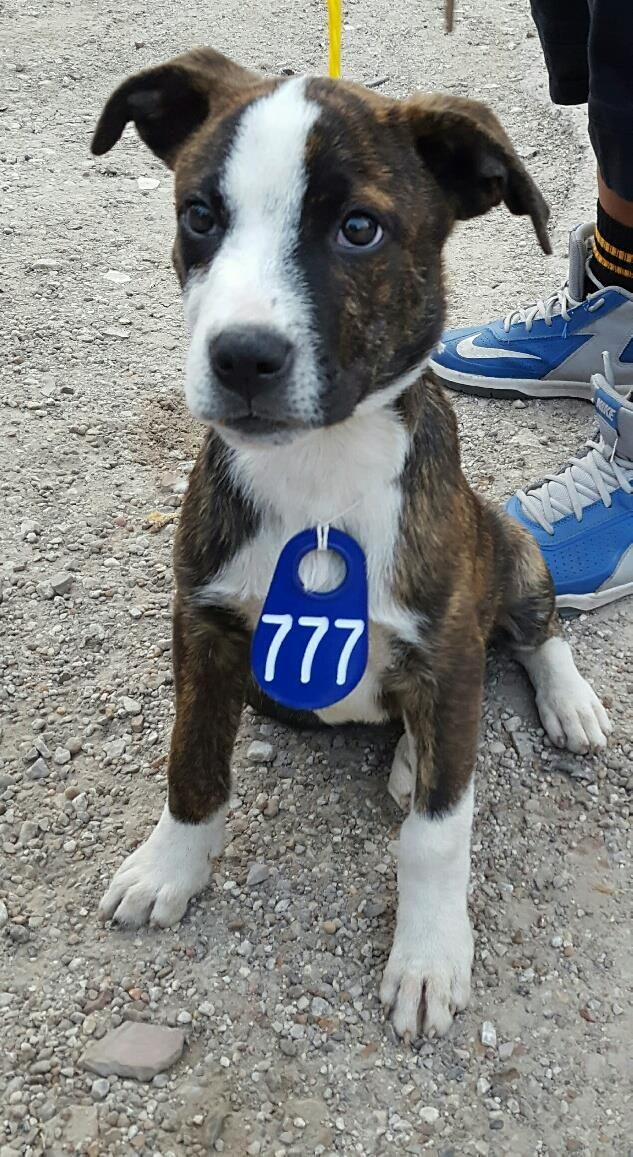 This DOG - ID#A473196 I am a male, brown brindle and white Pit Bull Terrier mix. The shelter staff think I am about 13 weeks old. I have been at the shelter since Nov 29, 2016. This information was refreshed 38 minutes ago and may not represent all of the animals at the Harris County Public Health and Environmental Services.