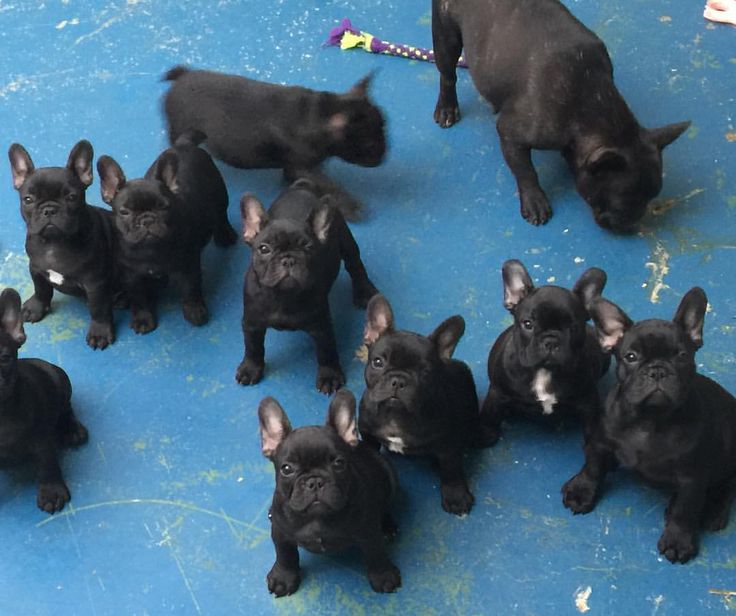 French Bulldog Puppies, from Dicar Frenchies.