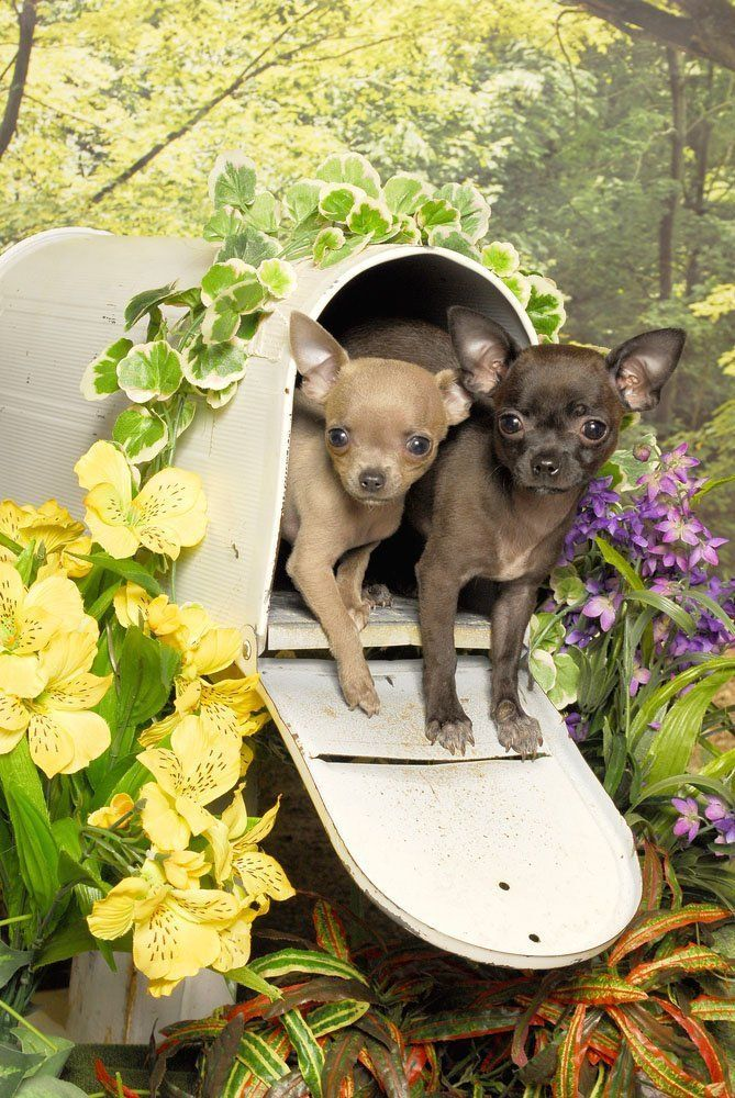 Special Delivery...hugs and kisses for you! see this here www.fundogpics.com/puppy-pictures-of-chihuahuas.html