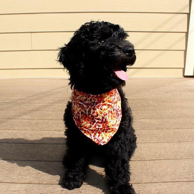 Cutest Black Golden Doodle Doodleolive On Instagram Dog Bandana From Shopoliveands Goldendoodle Black Goldendoodle Cute Black