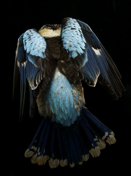 Kookaburra Wings by Gary Heery. Kingfisher/Kookaburra's Wisdom Includes: Connection to peaceful seas.  Happiness and love.  Peace.  Indifference to surroundings.  Clear vision through emotional waters.  Ability to dive (focus) into emotional waters and catch ones dreams
