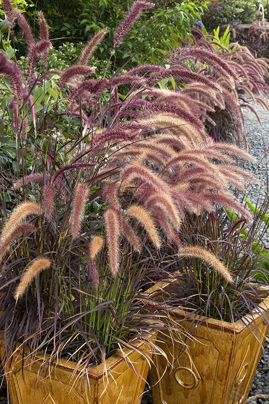 16 best images about garden drought freeze tolerant for Fountain grass