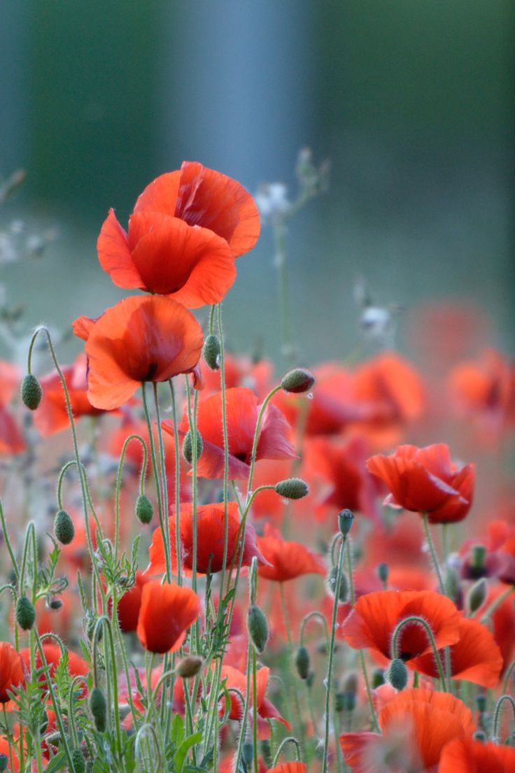 Poppies ~ never enough of them.