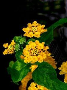 The Toxicity Of Lantana Lantana Lantana Plant Plants
