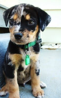 Catahoula Leopard Dog Love the split right down the middle of its face.