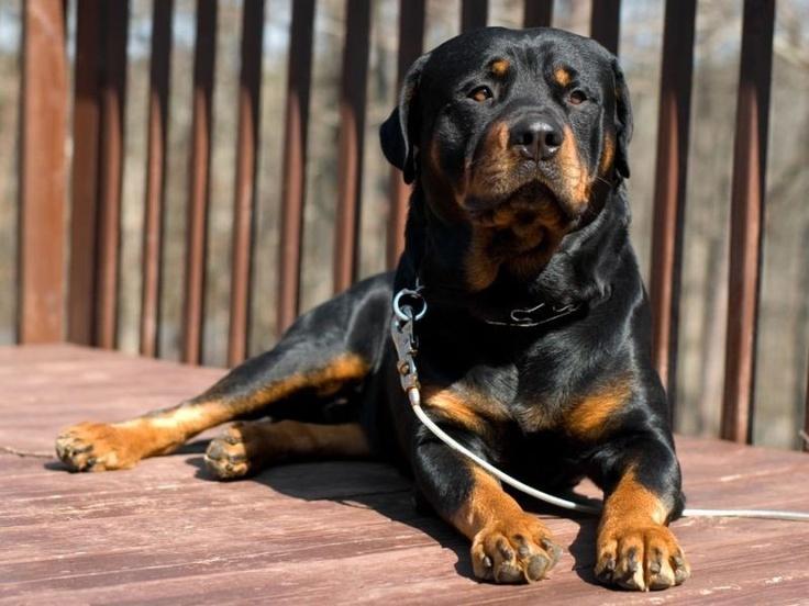 Rottweiler: Extrem aufgeweckter und wachsamer Begleiter, daher oft als Wachhund eingesetzt — Bild: Shutterstock / hempuli    www.einfachtierisch.de