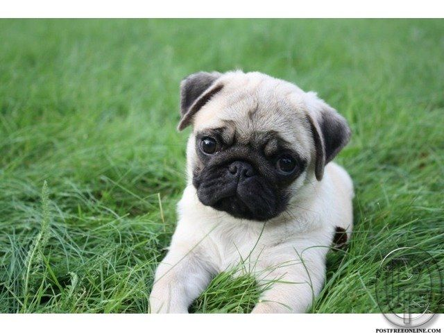 Pug puppies for sale in India and mumbai. All Healthy 40 to 45 days excellent quality high lineage puppy. Best quality, Pure bread. Good pedigree. Free consultation for pet care. With paper and without papers. Prices as per quality and linage you choose. All necesseties under one roof. Prices are according to the quality you choose. Call now 9699999338   Note: When you call, don't forget to mention that you found this ad on PostFreeOnline.com   info-Pics are for Reff. only actual puppy may…
