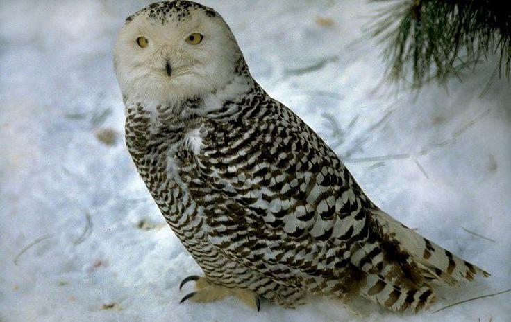 Bubo scandiacus - sovice sněžní