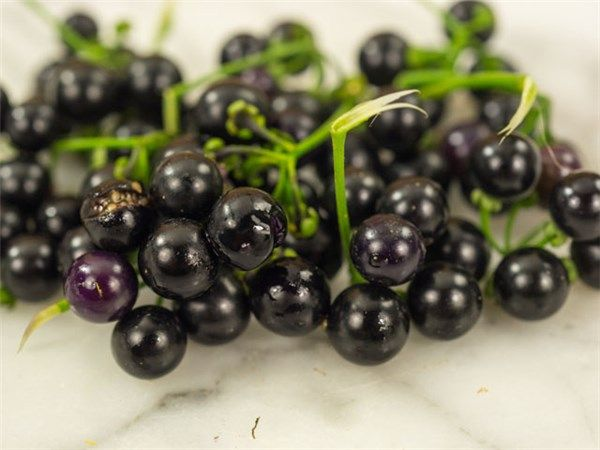 how to grow garden huckleberry from seed