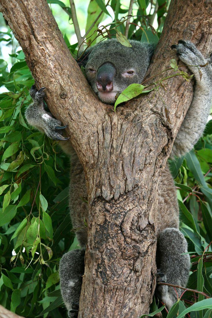 Koala, Townsville, Queensland, Australia