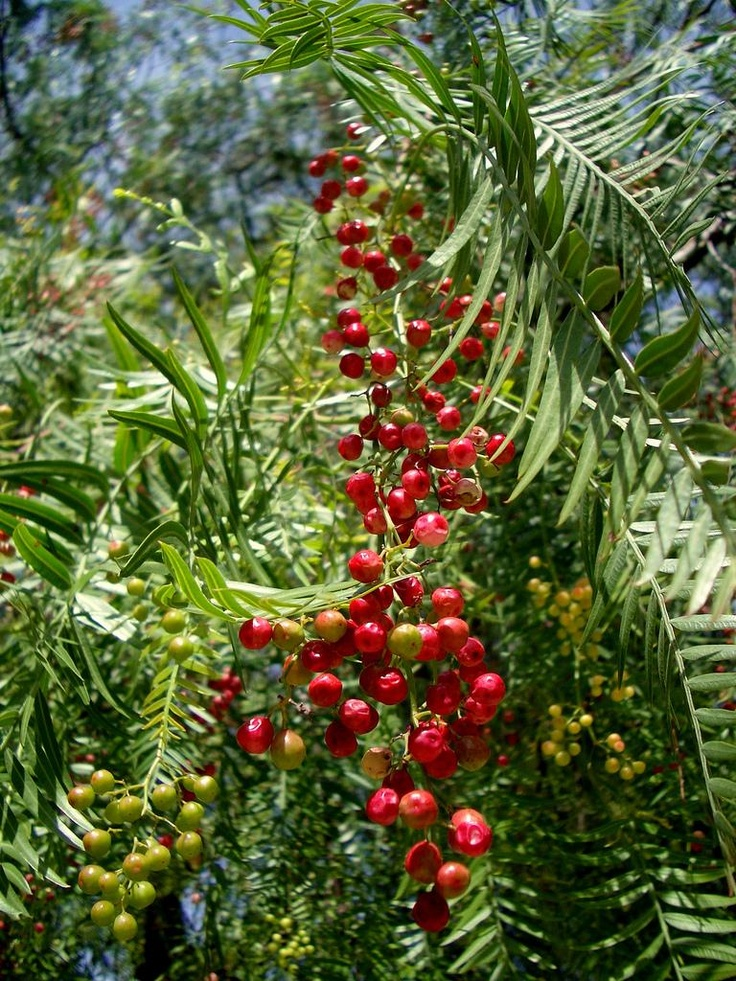 how to grow peppercorn trees