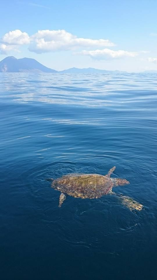 Aeolian Islands:  picture by Filicudi Wildlife Conservation. A turtle in February 2015 near Filicudi. It's possible to sea also the islands of Salina, Lipari and Vulcano. #Sicily