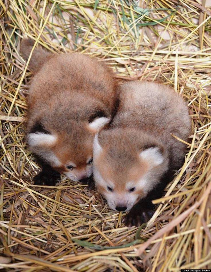Newborn panda and mom - photo#48