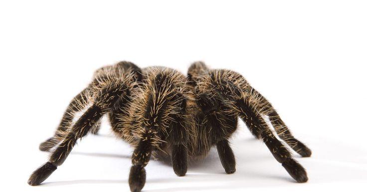 Tipos de arañas: negra con puntos blancos. Una araña blanca y negra acaban de pasar corriendo por el jardín y te preguntas si deberías estar preocupado. Probablemente no. De las 3.000 especies de arañas en Norteamérica sólo unos pocos tipos son peligrosas para los seres humanos. Sin embargo, una de ellas, la viuda negra, a veces tiene manchas blancas en su cuerpo negro. Muchas otras arañas ...