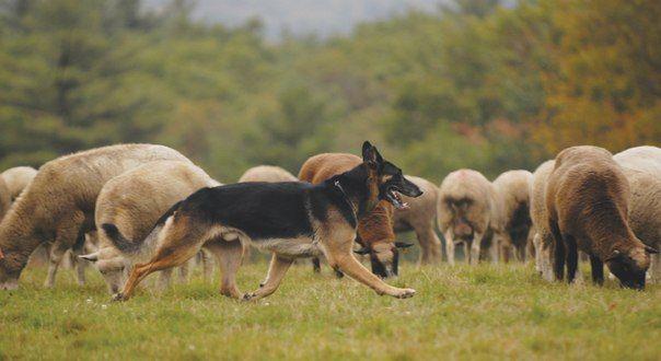 Рабочие немецкие овчарки