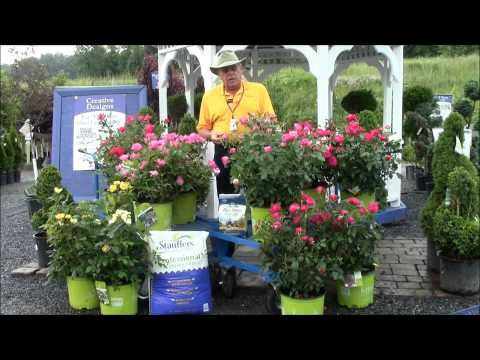 Learn all about how to fertilize, plant, prune and care for your knock out roses in this video below from Stauffers of Kissel Hill Garden Centers.  Learn more at www.skh.com.
