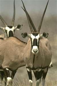 Arabian Oryx - endangered