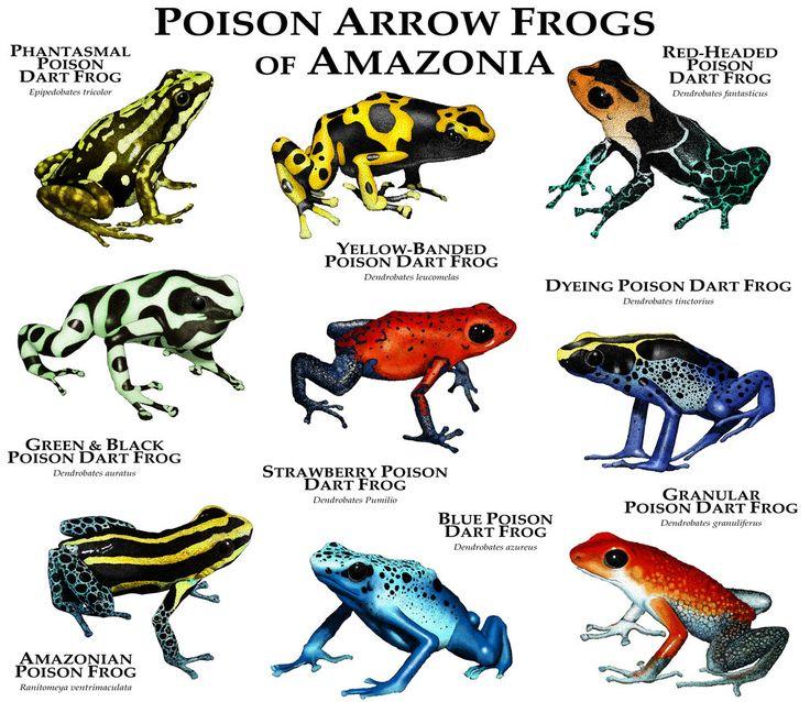 Poison Dart Frogs of Amazonia by rogerdhall on DeviantArt