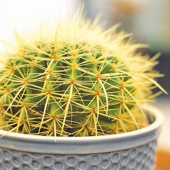 Golden Barrel Cactus  Popular in landscapes in warm-winter climates, golden barrel cactus (Echinocactus grusonii) is also a good houseplant. It shows off sharp golden-yellow spines and a fuzzy woollike cap on top of the plant. It's a slow grower to 1 foot tall that prefers bright light.