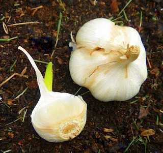 Grow your own GarlicGrowing Garlic, Grow Garlic, Keep Bugs Away, Fresh Eggs Daily, Easy, Farms, Homestead Survival, Plants, Homesteads Survival