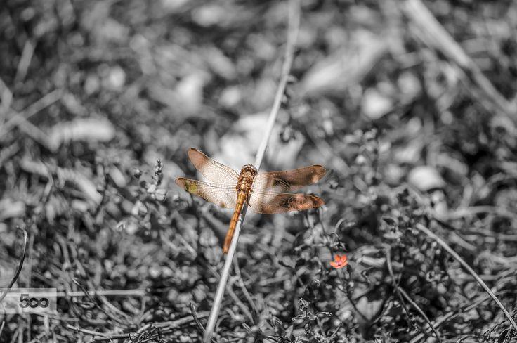 Anisoptera (Sympetrum) by Graziella Serra Art & Photo on 500px