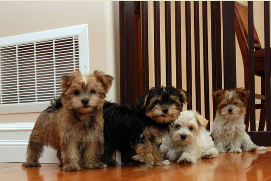 morkie dogs cute Pinterest Puppys