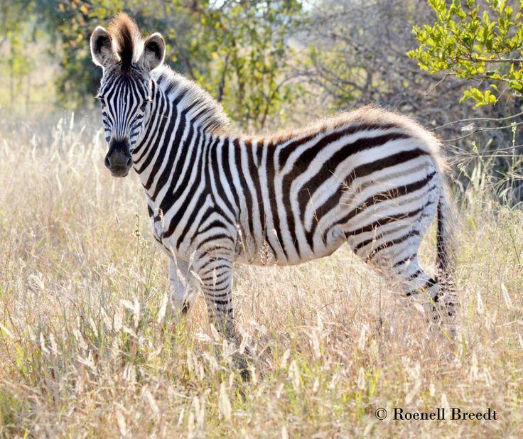 Zebra with attitude 3