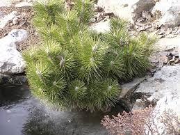 Pinus thunbergii 'Mayima'.
