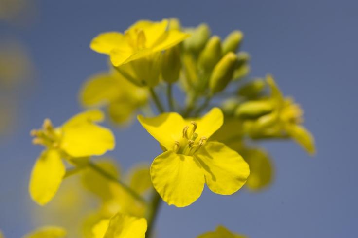 A canola flower