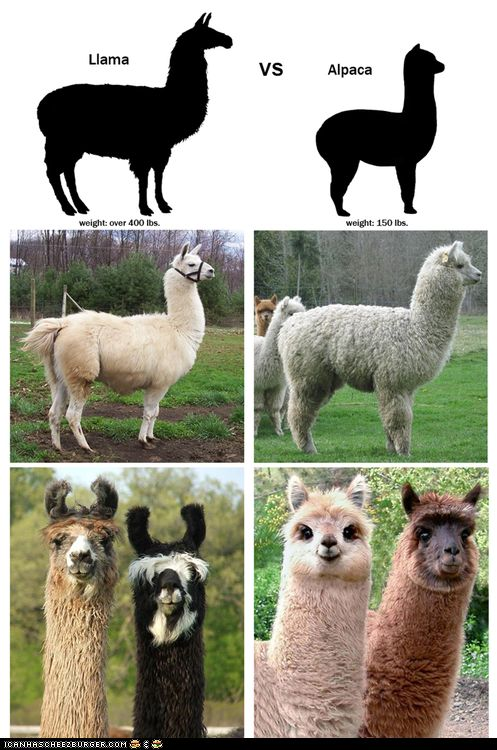 The difference between a llama and an alpaca. Alpacas are cute. Llamas look like they're constantly judging you.