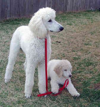"""Standard Poodles- exceptionally smart, excels in obedience training, """"hypoallergenic"""", beauty requires professional grooming and daily exercise"""