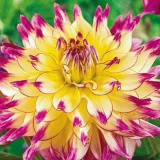 Giant Dinner Plate Dahlias | Flower Bulbs   Zoey Rey Giant Dinner Plate  Dahlia
