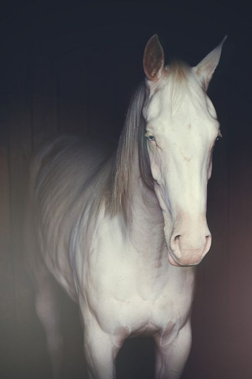 Blue-eyed American Albino Horse- despite their name, American Albinos are not albino, but chestnut animals affected by a champagne dilution gene. This genetic combination creates creamy white animals with freckles  light eyes.