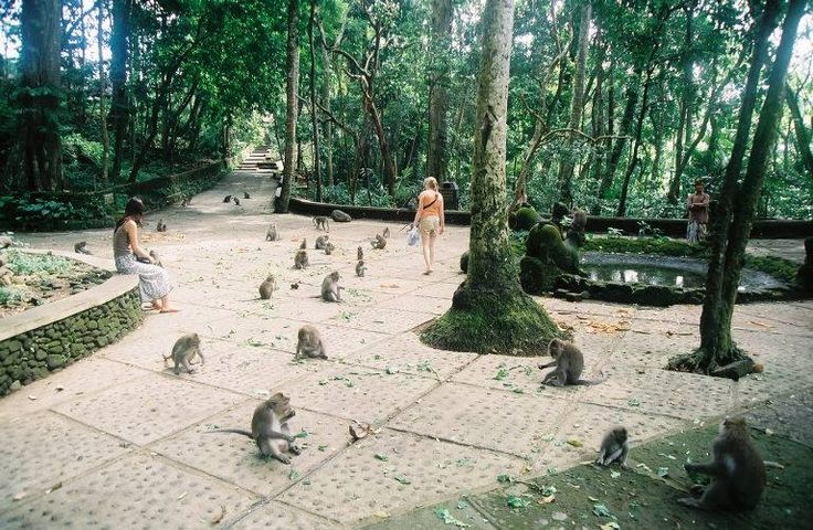 Sangeh Monkey Forest is a tourist place in Bali that will bring you one with nature. Situated in Ubud , Bali , Sangeh Monkey Forest is a forest inhabited by many wild monkeys . The monkeys are considered sacred by the locals so that should not be disturbed and allowed to live in the forest Sangeh . Monkeys in Sangeh Monkey Forest really liked the food , they will try to get the food you take , even if the food is in your bag . In this place you will see the lives of hundreds of monkeys