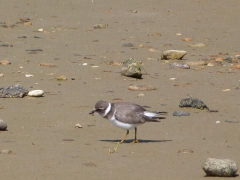 Ringed Plover: engagement rings | Nature Notes